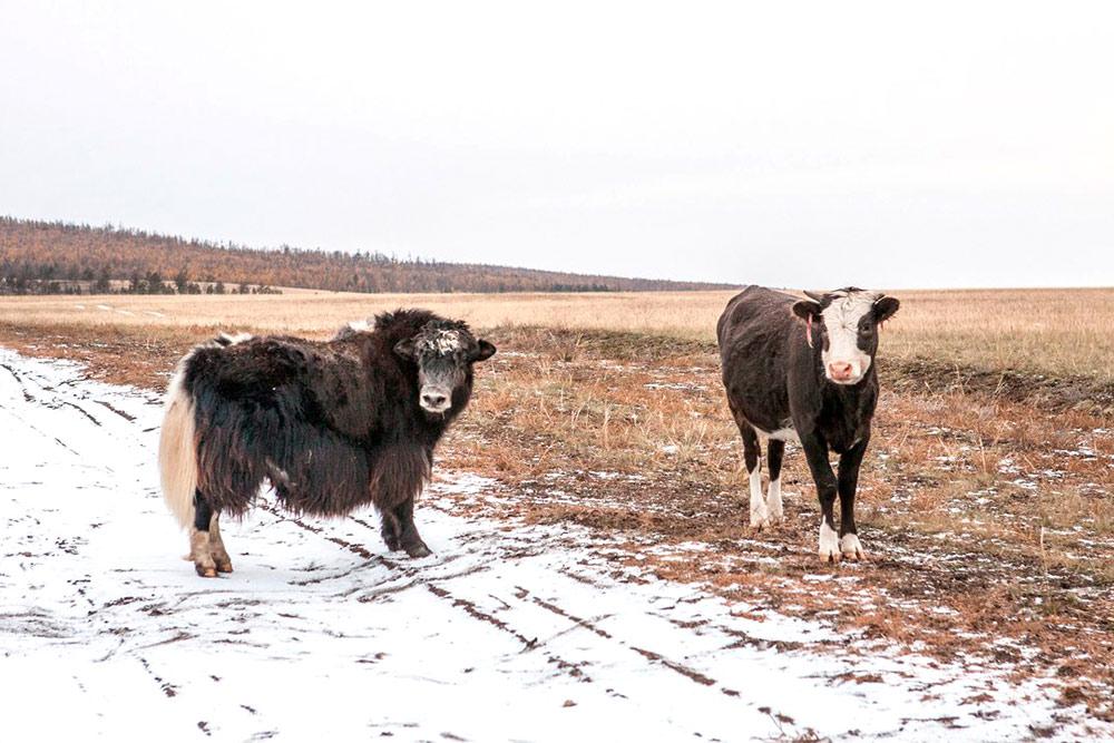 Ольхонские як и корова